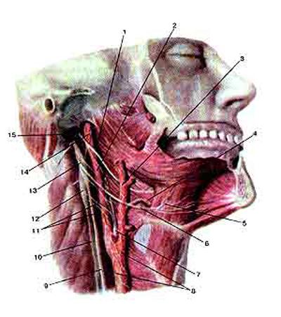 Языкоглоточный нерв (nervus glossopharyngeus) и подъязычный нерв (nervus hypoglossus)