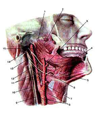 �������������� ���� (nervus glossopharyngeus) � ����������� ���� (nervus hypoglossus)