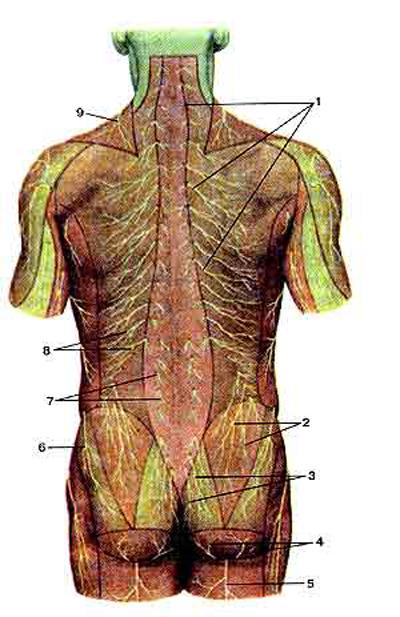 Кожные нервы задней стороны туловища