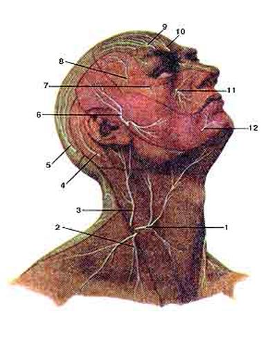 Нервы шейного сплетения и кожные ветви черепных нервов