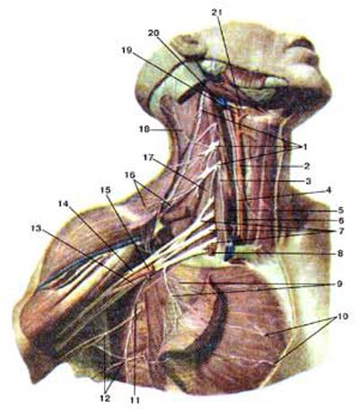 Шейное сплетение (plexus cervicalis), плечевое сплетение (plexus brachialis) и их ветви