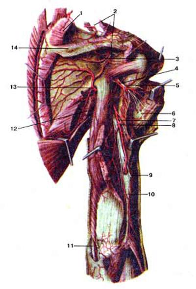 Надлопаточный (nervussuprascapularis), подмышечный (nervus axillaris) и другие нервы плечевого сплетения