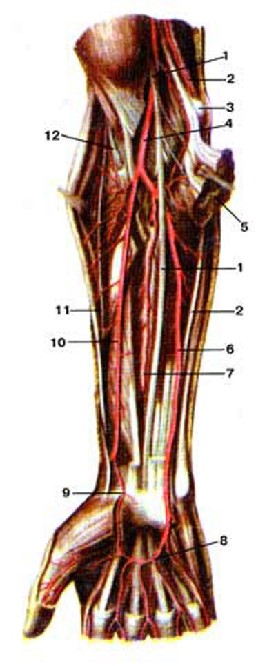 Нервы и артерии предплечья