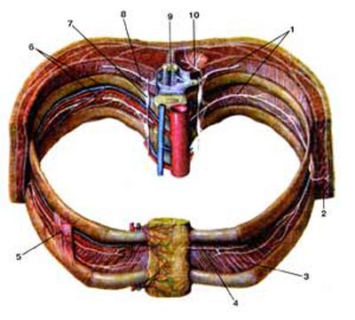 Межреберные нервы (nervi intercortales) и их ветви