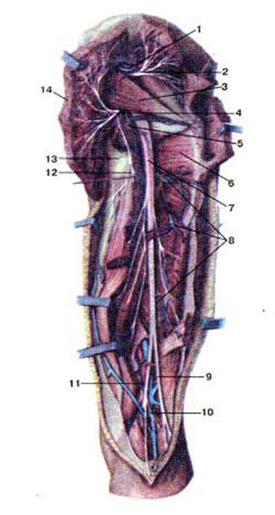 Нервы и кровеносные сосуды затей стороны бедра, правого