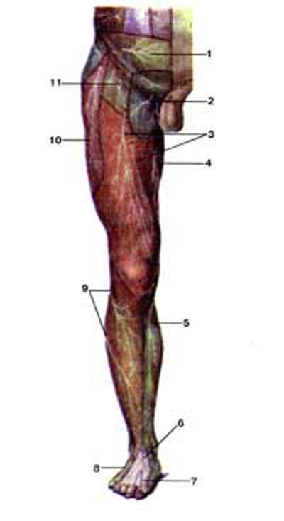 Кожные нервы (nervi cutanei) нижней конечности