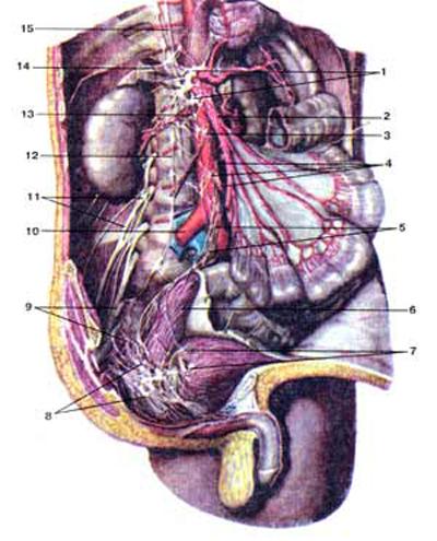 Брюшное аортальное сплетение (plexus aorticus abdomi-nalis) и другие вегетативные сплетения брюшной полости и таза