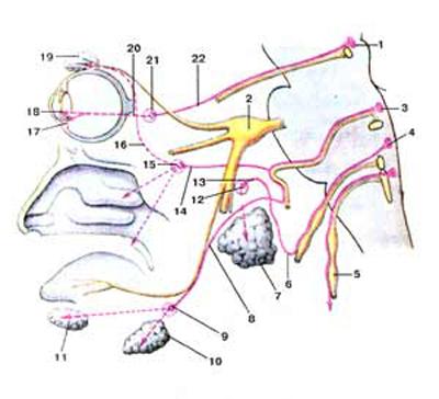 Головной отдел парасимпатической части вегетативной нервной системы