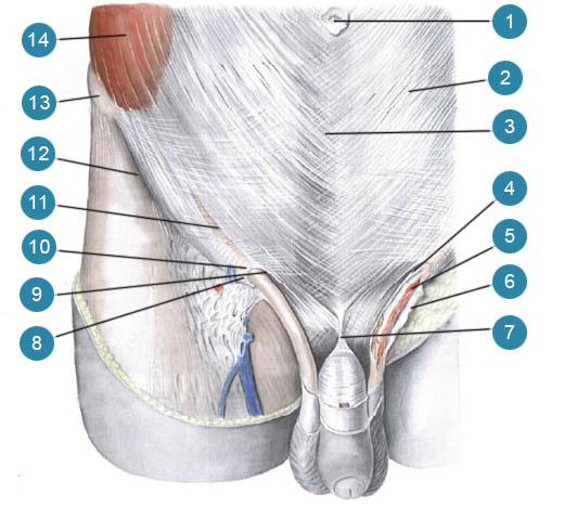 Передняя стенка живота и поверхностное (подкожное) паховое кольцо (пахового канала) мужчины