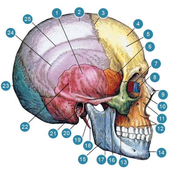 Череп (cranium) Вид сбоку