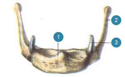 Подъязычная кость (os hyoideum)  Вид спереди