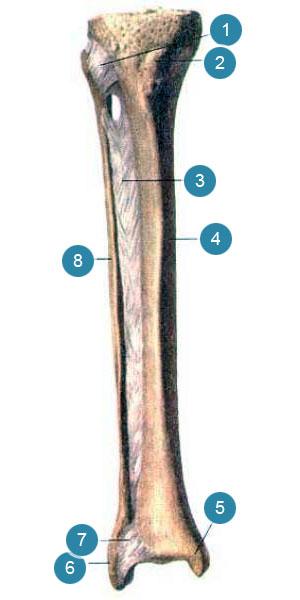 Соединения костей голени, правой