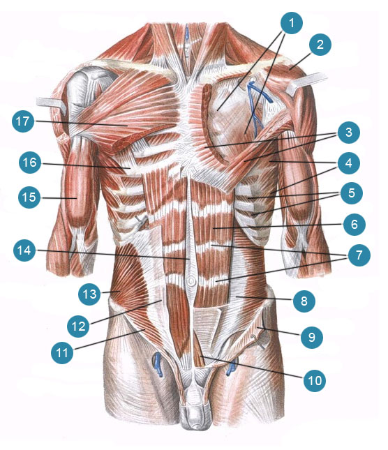 Мышцы туловища груди и живота