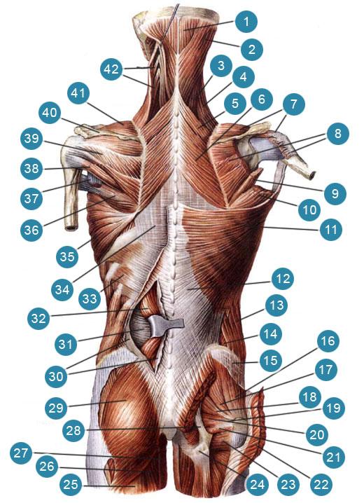 Поверхностные мышцы спины и затылка (Трапециевидные мышцы и левая широчайшая мышца спины удалены)