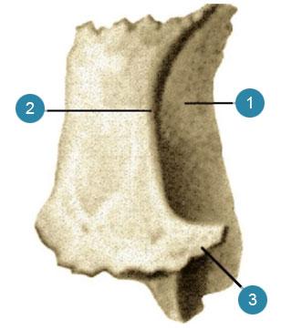Слезная кость (os lacrimale)  Вид с латеральной стороны