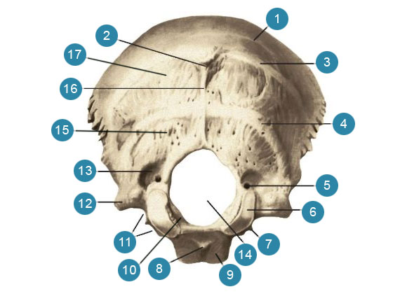 Затылочная кость (os occipitale)  Вид сзади