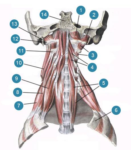 Глубокие мышцы шеи