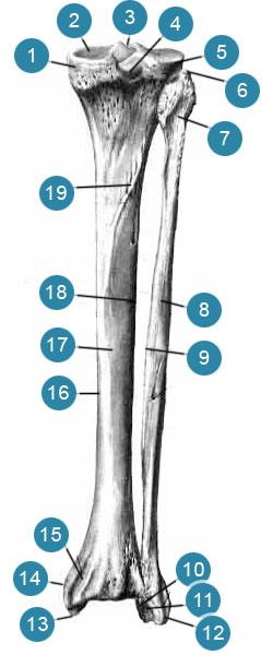 Большеберцовая и малоберцовая кости (tibia et fibula)  вид сзади