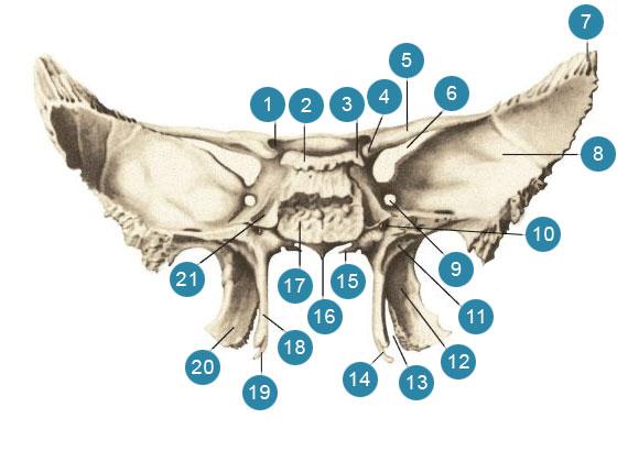 Клиновидная (основная) кость (ossphenoidale)  Вид сзади