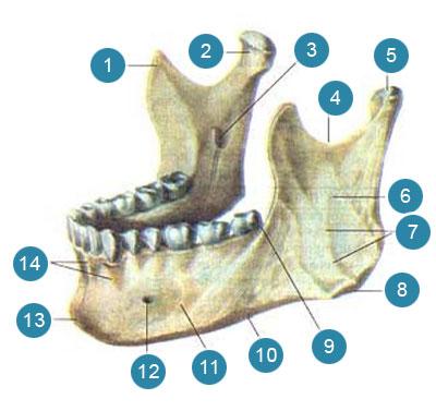 Нижняя челюсть (mandibula)  Вид сверху и слева