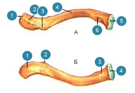 Ключица (clavicula)