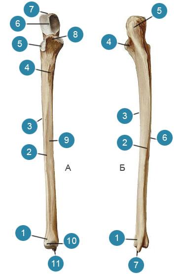 Локтевая кость (ulna)