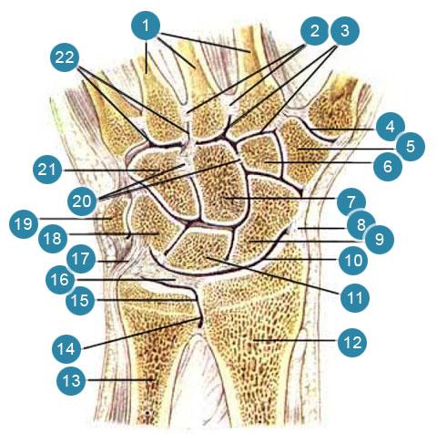Луче-запястый сустав (articulanio radiocarpea); суставы и связки кисти. Правая рука