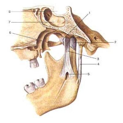Связки височно-нижнечелюстного сустава