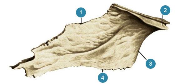 Сошник (vomer)  Левая сторона