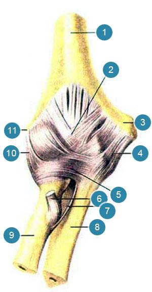 Локтевой сустав (articulatiocubiti)