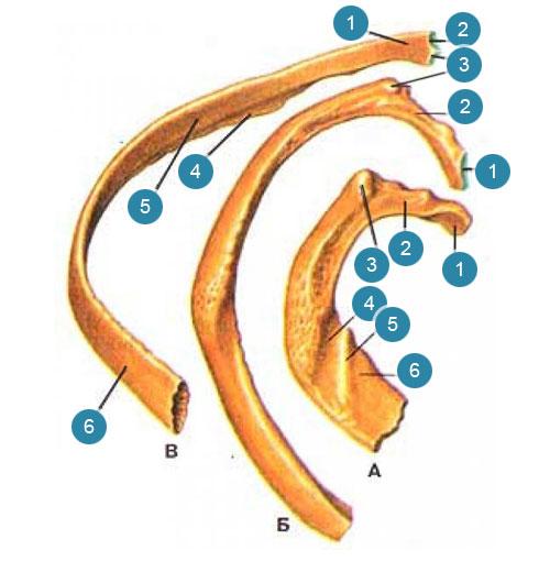Ребра (costae)