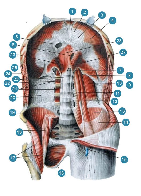 Диафрагма и мышцы задней стенки живота