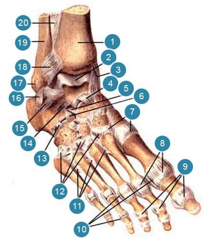 Связки и суставы стопы, правой ноги