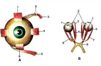 Мышцы глаза (musculi oculi)