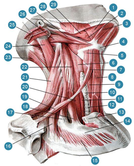 Мышцы шеи. Подкожная мышца шеи и грудино-ключично-сосцевидная мышцы удалены