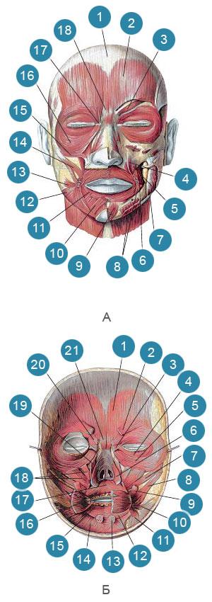 Мимические мышцы. Вид снаружи и изнутри