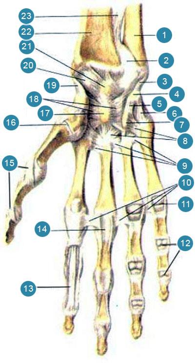 Луче-запястный сустав (articulartio radiocarpea) связки и суставы кисти, правой руки
