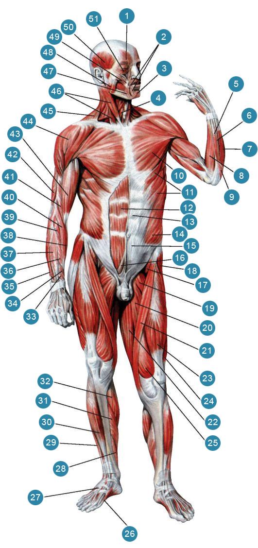 Мышцы передней поверхности тела человека