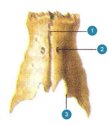 Носовые кости (ossa nasalia)  Вид сверху