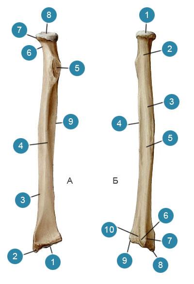 Лучевая кость (radius)