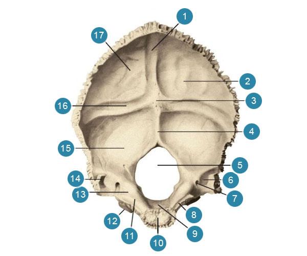 Затылочная кость (os occipitale)  Вид спереди