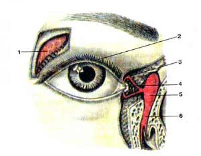 Слезный аппарат правого глаза (apparatus lacrimalis)