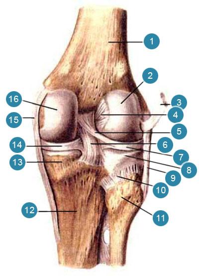 Коленный сустав (articulartio genus), правая нога.