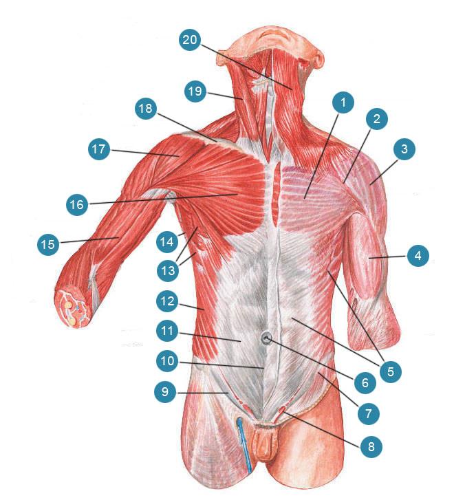Мышцы и фасции туловища