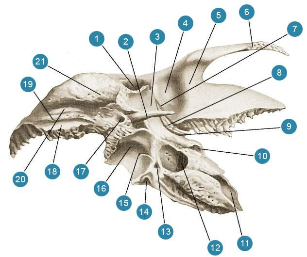 Височная кость (os temporale)  Вид снизу (правая кость)
