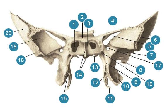Клиновидная (основная) кость (os sphenoidale)  Вид спереди