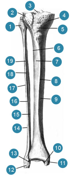 Большеберцовая и малоберцовая кости (tibia et fibula) вид спереди