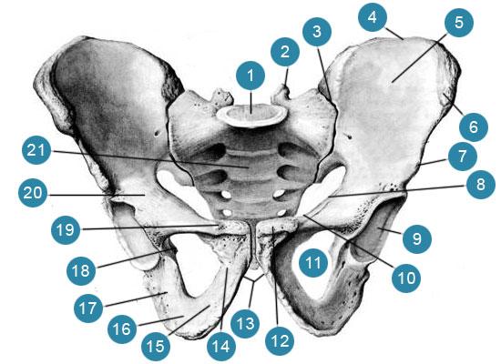 Скелет мужского таза  Вид спереди