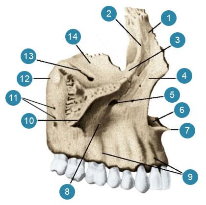Верхняя челюсть (верхнечюстная кость-maxilla) правая  Вид сбоку