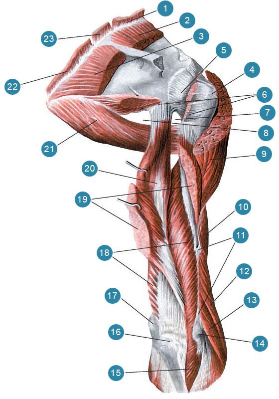 Трехглавая мышца плеча (правого) и мышцы плечевого пояса